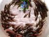 广州联丰水产供应优质的全雄、杂交黄颡鱼苗。