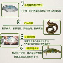 廣州聯豐水產供應優質的泥鰍苗種,快大,長速均勻,畝產效益高。圖片