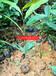 黎蒴树袋苗、黧蒴小袋苗价格、黎蒴苗供应批发商、50CM高黎蒴苗那么有