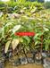 广西油松苗广西湿地松小苗,广西桉树小苗,杉树小苗,广西