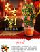 武漢適合節日擺放的植物送貨上門,春節植物新年盆栽新春綠植過年盆景
