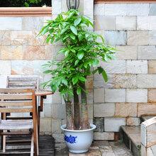 武汉写字楼绿植花木出租销售,办公室苗木盆栽租摆维护