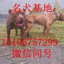 猛犬比特犬斗狗比特小比特犬幼犬比特犬多少钱图片