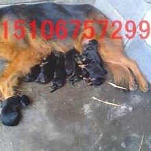 血统大白熊犬狼青犬比特犬牧羊犬中国血统犬图片