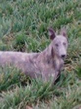 供應雙脊背格力純種格力犬血統格力犬小格力幼犬圖片