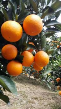 湖北秭归夏橙/夏橙价格/夏橙产地