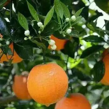 湖北秭归夏橙
