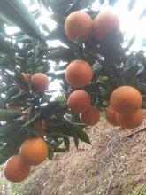 夏橙产地/秭归夏橙/夏橙果园看货