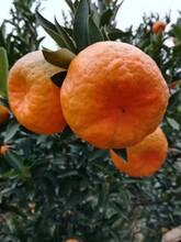 蘆柑/蘆柑價格/蘆柑產地代辦圖片