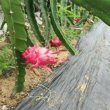 抑草编织地布在贵州无花果园的维护要求图片