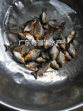 淡水大白鲳鱼苗出售鱼苗批发各种鱼苗养殖图片
