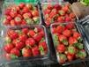 大慶市草莓苗大慶市抗寒草莓苗