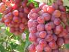 无核葡萄树苗新品种葡萄苗