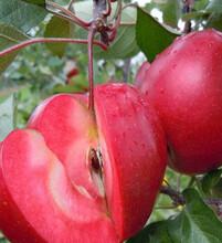苹果苗红爱苹果苗矮化红肉苹果苗里外红苹果苗