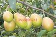梨树苗,红香酥梨树苗,山西梨树苗直销