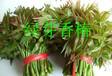 香椿树苗,红芽香椿树苗,山西绿芽香椿苗