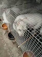 濰坊雪狐藍狐養殖基地圖片