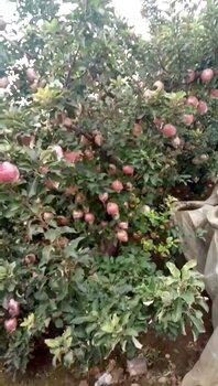 濰坊紅富士蘋果便宜了