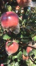 濰坊紅富士蘋果產地價格最低圖片
