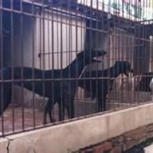 格惠犬出售圖片