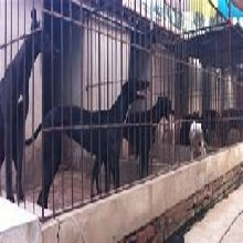 格惠犬出售图片
