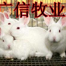 广东气候适合养殖兔子吗伊拉肉兔种兔养殖成本