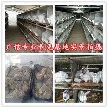 肉兔养殖场怎么建设,种兔的价格