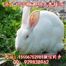 银川哪里有好的种兔,獭兔养殖场
