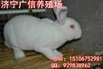 獭兔养殖加盟,獭兔养殖致富技术品种是关键
