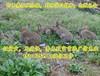 山西哪里有卖兔子的长治杂交野兔养殖场