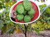优质泰国(AP)番荔枝/释迦嫁接果苗、盆栽出售